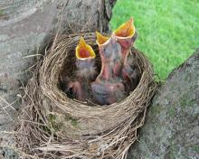 baby birds with mouth open