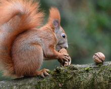 squirrel gathering nuts